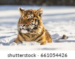 siberian tiger laying in snow.... | Shutterstock . vector #661054426