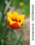 yellow and red tulip flower | Shutterstock . vector #661084666