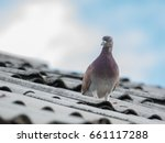 Pigeon Or Dove On Roofs. In...