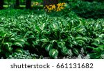 Green Bush Hosta. Hosta Leaves...