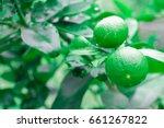 fresh lime and green lemon on... | Shutterstock . vector #661267822