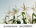 Corn Tassels At Sunset