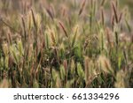 background of wall barley or... | Shutterstock . vector #661334296
