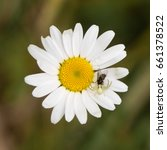 Small photo of Misumena vatia crab spider with fly on daisy. Camouflaged arachnid holding prey on ox-eye daisy (Leucanthemum vulgare), in the family Asteraceae