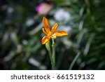 Small photo of Summer flowers in garden. Flower blossom on blurred background. Beautiful gentle flowers. Sunny summer day in green blooming garden. Blooming Belamcanda in spring time. Summer countryside day.