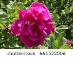 Small photo of Rugosa rose (Rosa rugosa) flower in the summer garden