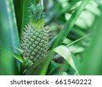 sri lanka. green pineapple... | Shutterstock . vector #661540222
