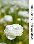 Ranunculus Flower At The Flowe...