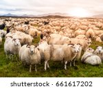 large herd of sheeps at sunset... | Shutterstock . vector #661617202