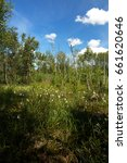 Small photo of Landscape showing a dense, marshy forest in summer with flowering common cottongrass in a beautiful sunny day. Poland in June.Vertical view