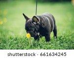 A Little French Bulldog Puppy...