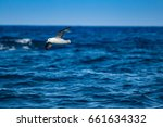 Small photo of Flying fulmar over the dark blue ocean close to Shetland