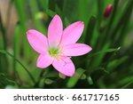 rain lily | Shutterstock . vector #661717165