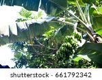 banana tree with a bunch of... | Shutterstock . vector #661792342