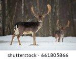 fallow deer buck. majestic... | Shutterstock . vector #661805866