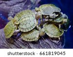 Red Eared Slider Turtle Group.