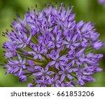 Allium Consists Of Small...