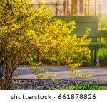 Bush Of Yellow Forsythia...