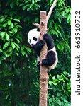 panda  china  chengdu  panda... | Shutterstock . vector #661910752