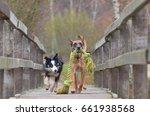 Stock photo border collie playing with belgian shepherd dog 661938568