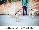 Stock photo dog walker with dogs enjoying in walk selective focus on front dog 661938892