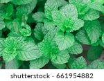 fresh green pepper mint grow... | Shutterstock . vector #661954882