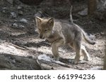 Small photo of Timber wolf pup