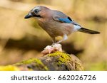 jay spring sitting on a tree... | Shutterstock . vector #662026726
