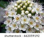 white flowers on bush branches   Shutterstock . vector #662059192