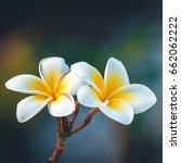 gorgeous frangipani flowers.... | Shutterstock . vector #662062222
