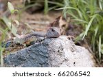 Small photo of Ameiva, commonly called jungle-runners, is a whiptail lizard. Family of Teiidae. Photographed in puerto rico.