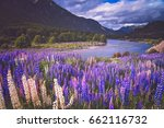 lupin field and mountain river... | Shutterstock . vector #662116732