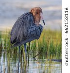 reddish egret with bright red... | Shutterstock . vector #662153116