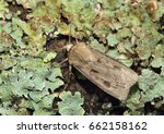 Small photo of Heart And Dart Moth - Agrotis exclamatiois On Lichen covered log