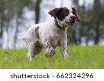 english springer spaniel | Shutterstock . vector #662324296
