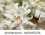 closeup of a white edelweiss ... | Shutterstock . vector #662443126
