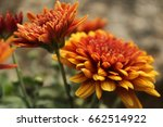 close up of two orange and... | Shutterstock . vector #662514922
