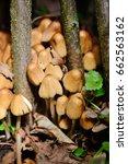 Coprinus Micaceus Mushroom ...