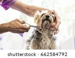 grooming a little dog in a hair ... | Shutterstock . vector #662584792