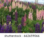 beautiful colorful blooming... | Shutterstock . vector #662659066