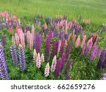 beautiful colorful blooming... | Shutterstock . vector #662659276
