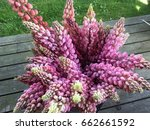 lupine  lupin. a plant of the...   Shutterstock . vector #662661592