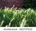 close up reeds of grass green... | Shutterstock . vector #662737612
