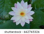 white lotus flower  yellow... | Shutterstock . vector #662765326