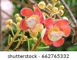 cannonball tree flowers ... | Shutterstock . vector #662765332