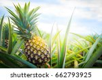 pineapple tropical fruit... | Shutterstock . vector #662793925