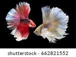 couple betta fish on black...   Shutterstock . vector #662821552