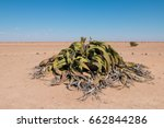 welwitschia is the national... | Shutterstock . vector #662844286