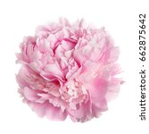 a flower gently pink peony... | Shutterstock . vector #662875642