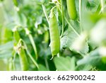 sugar snap pea on the vines | Shutterstock . vector #662900242